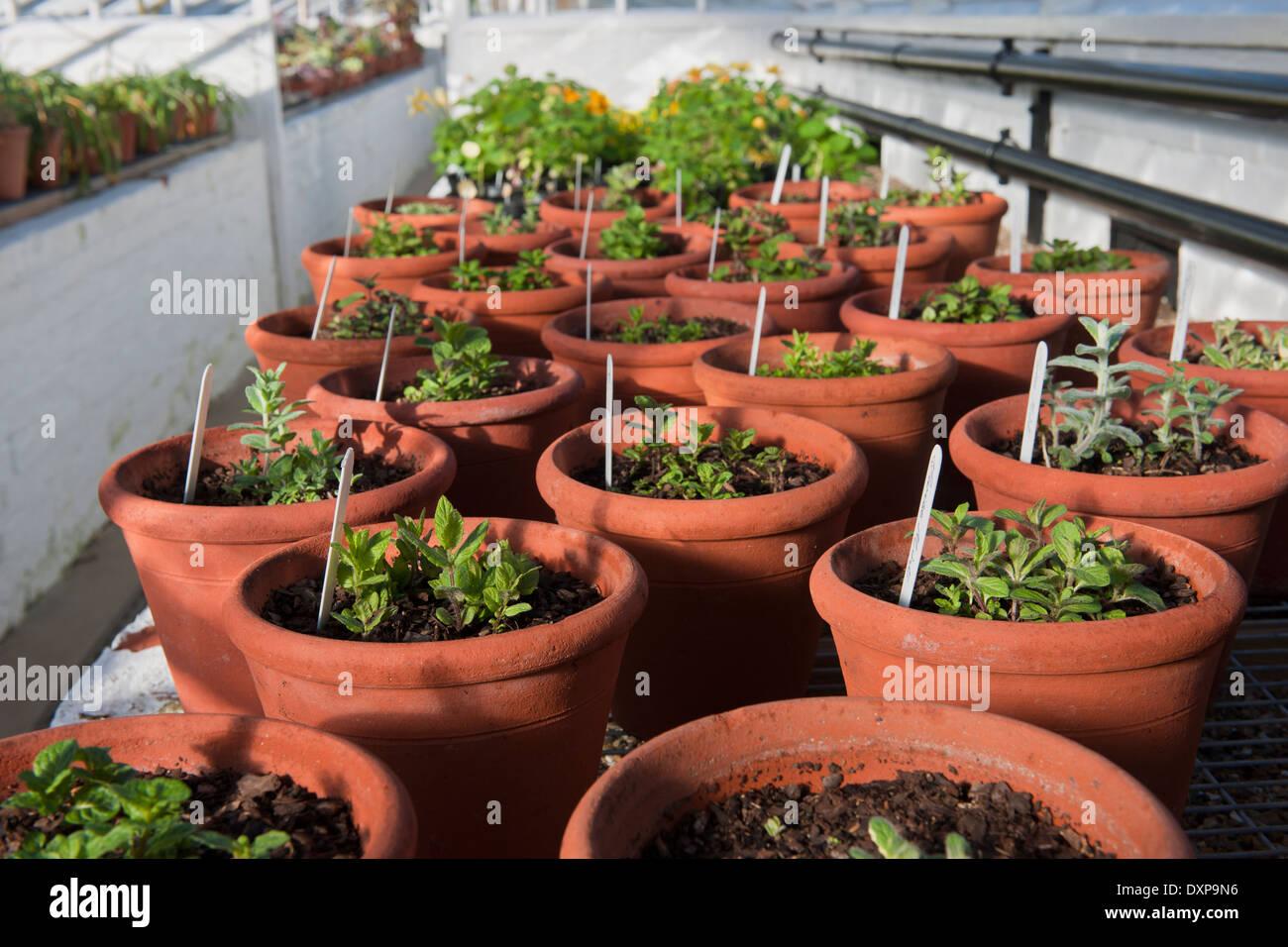 Plant De Menthe En Pot variétés de menthe en pots de terre cuite de printemps à
