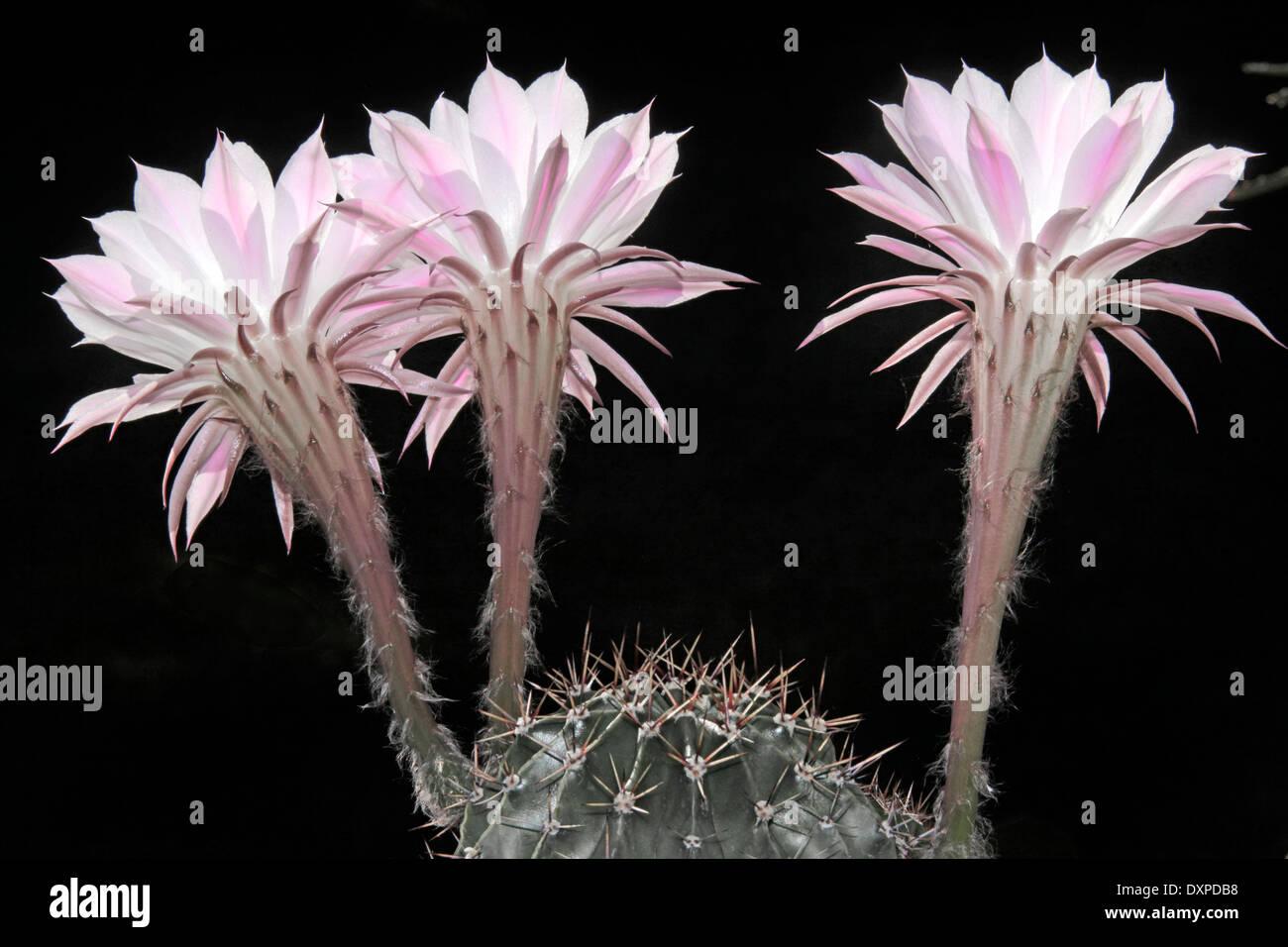 Lis de Pâques Fleurs Cactus Echinopsis mamillosa Sterne (photo) Couleurs atténuées de Pentecôte Photo Stock