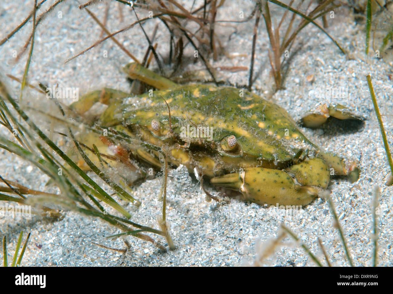 Le crabe vert ou crabe Carcinus aestuarii (littoral), la mer Noire, la Crimée, la Russie Photo Stock
