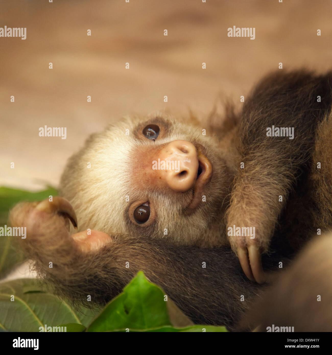 Hoffmann bébé Deux-toed Sloth (Choloepus hoffmanni) à la paresse Sanctuaire de Costa Rica Photo Stock
