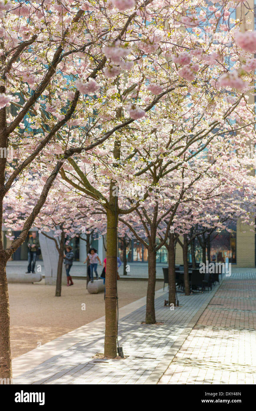 Cherry Blossom in Square Oozells, Brindleyplace, Birmingham Photo Stock