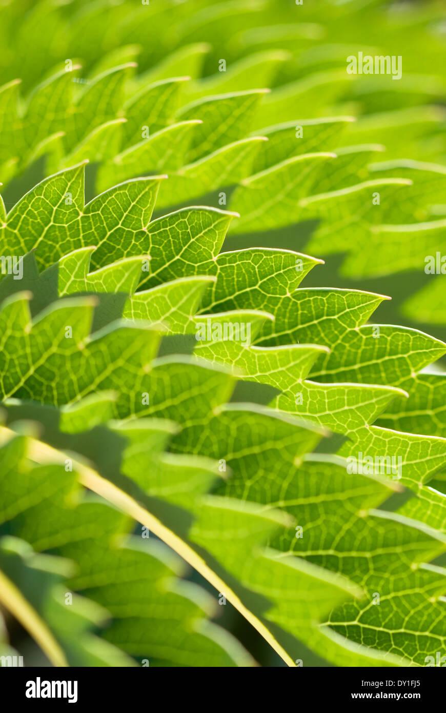 Close up of Melianthus major, Honey Bush. Arbuste, septembre. Feuillage dentelé. Banque D'Images
