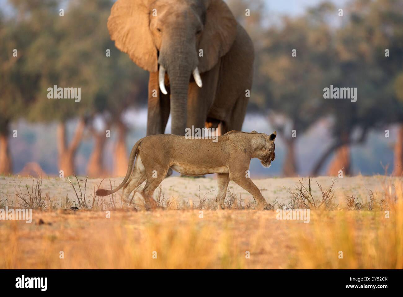 Lionne - Panthera leo - marche de l'éléphant d'Afrique Loxodonta africana - bull, Mana Pools National Park, Zimbabwe, Banque D'Images