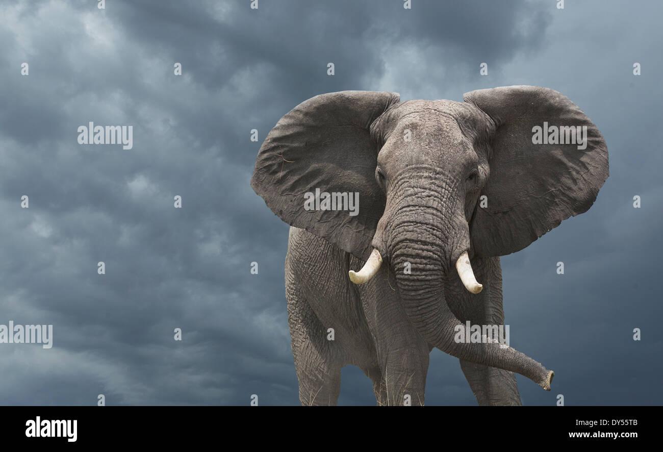 L'éléphant africain (Loxodonta africana) Photo Stock