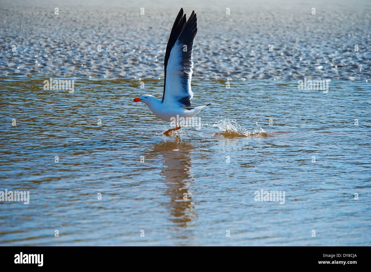 L'Australie, la mer, le sable, l'animal, Victoria, oiseaux, Wilsons Promontory, parc national, mouette, Photo Stock