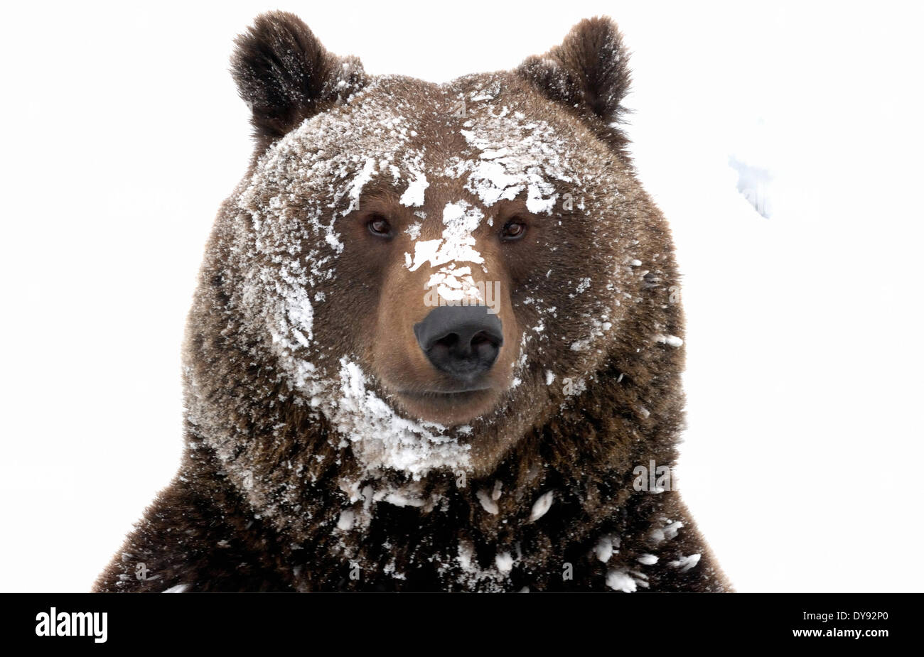Ours brun ours ours brun européen européen prédateur Ursus arctos Ursus hiver neige hiver furtivement Photo Stock