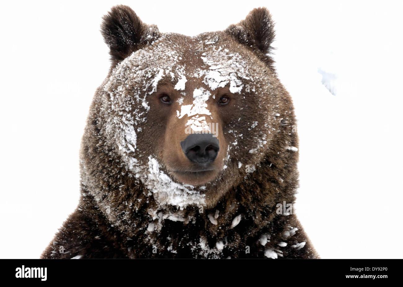 Ours brun ours ours brun européen européen prédateur Ursus arctos Ursus hiver neige hiver furtivement de l'ours, animal animaux Photo Stock