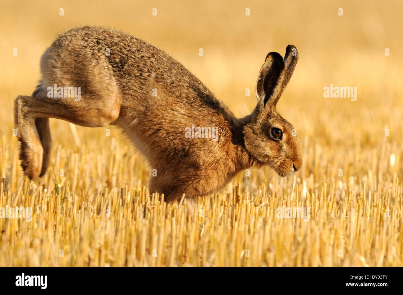 Lièvre, lapin, Lepus europaeus Pallas, brown hare, bunny, champ de chaume, l'été, des animaux, des animaux, de l'Allemagne, l'Europe, Photo Stock