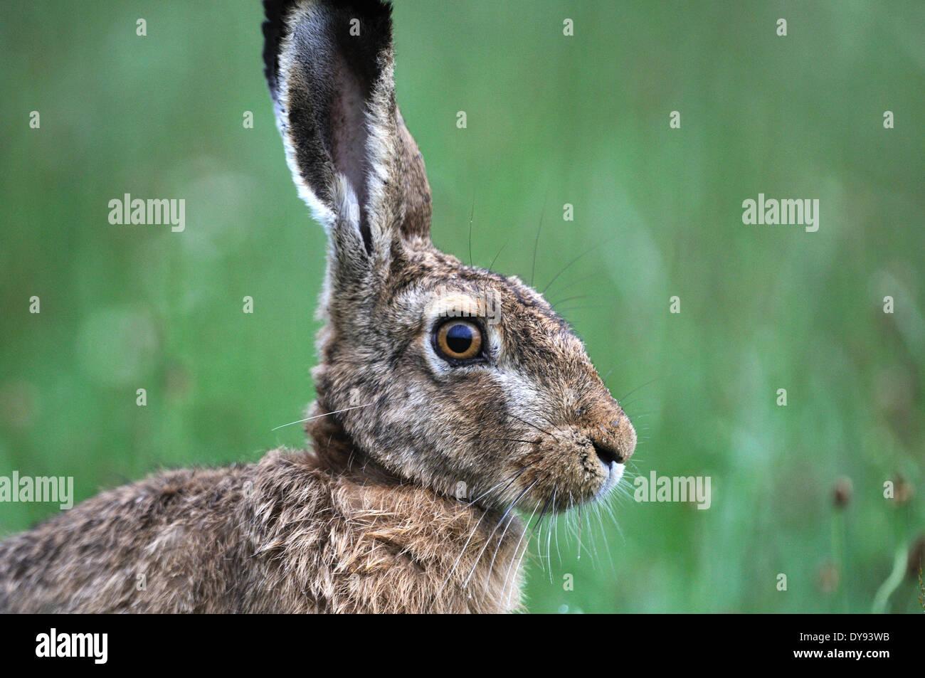 Lièvre, lapin, Lepus europaeus Pallas, brown hare, bunny, herbe, portrait, animal, animaux, France, Europe, Photo Stock