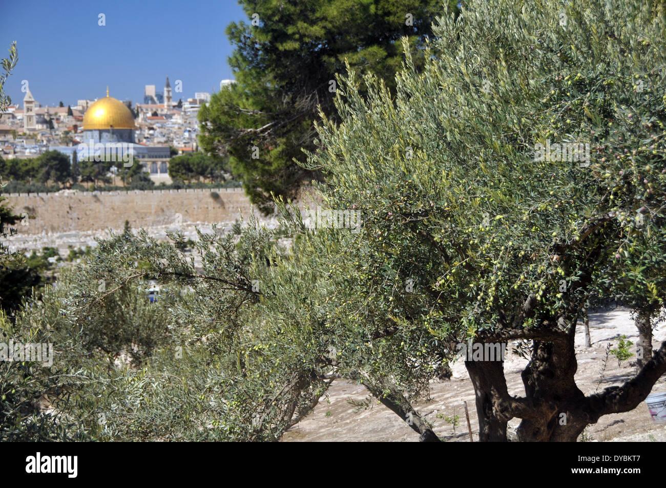Olivier, Olea europaea, et vue sur la vieille ville de Jérusalem, y compris le Dôme du Rocher mosquée, Jérusalem, Israël Banque D'Images