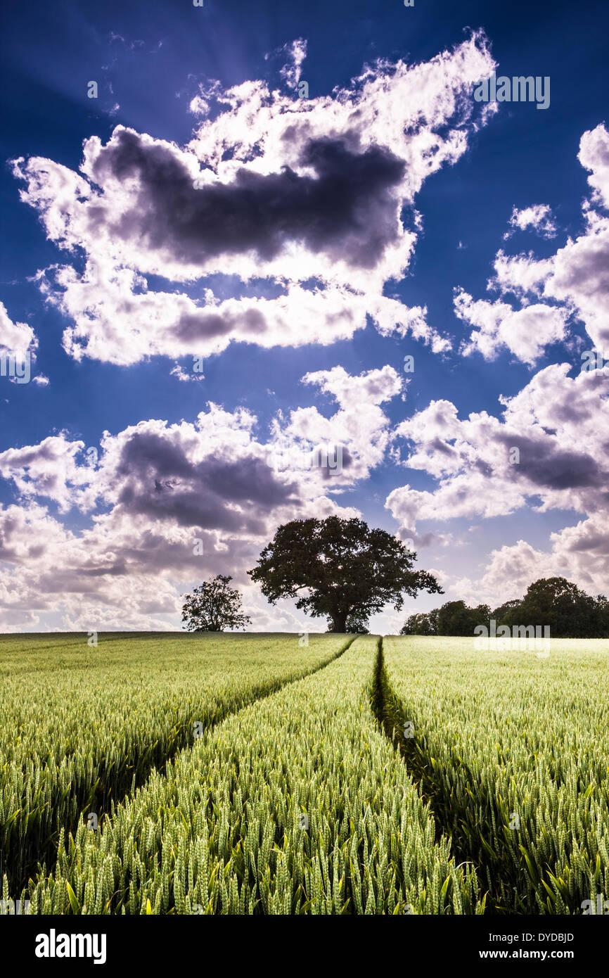 Les voies des roues du tracteur par l'intermédiaire d'un champ de blé prêt à mûrir en vue de la récolte. Photo Stock