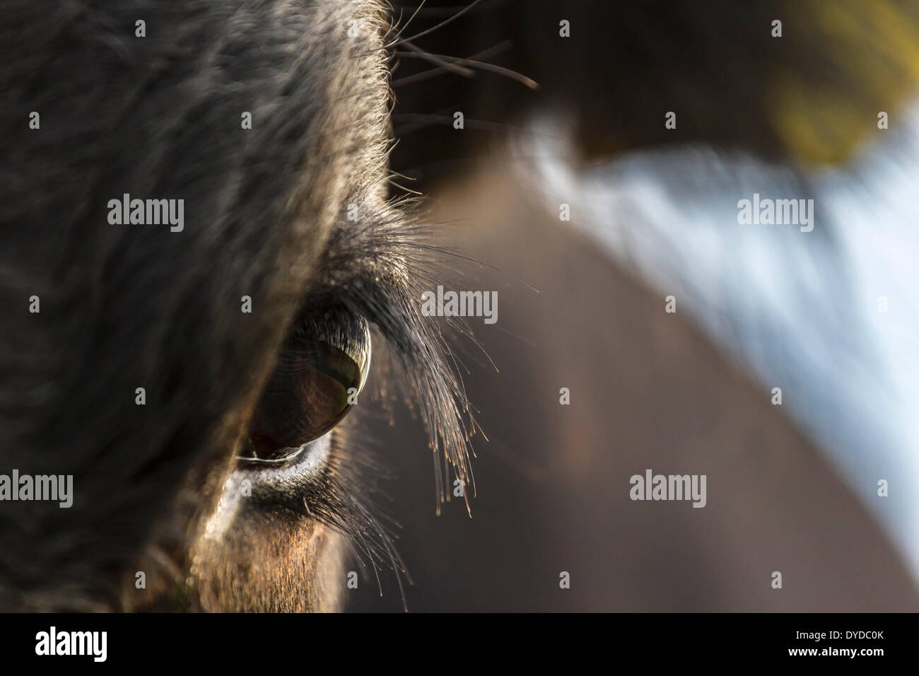 De près de l'œil d'un veau. Photo Stock