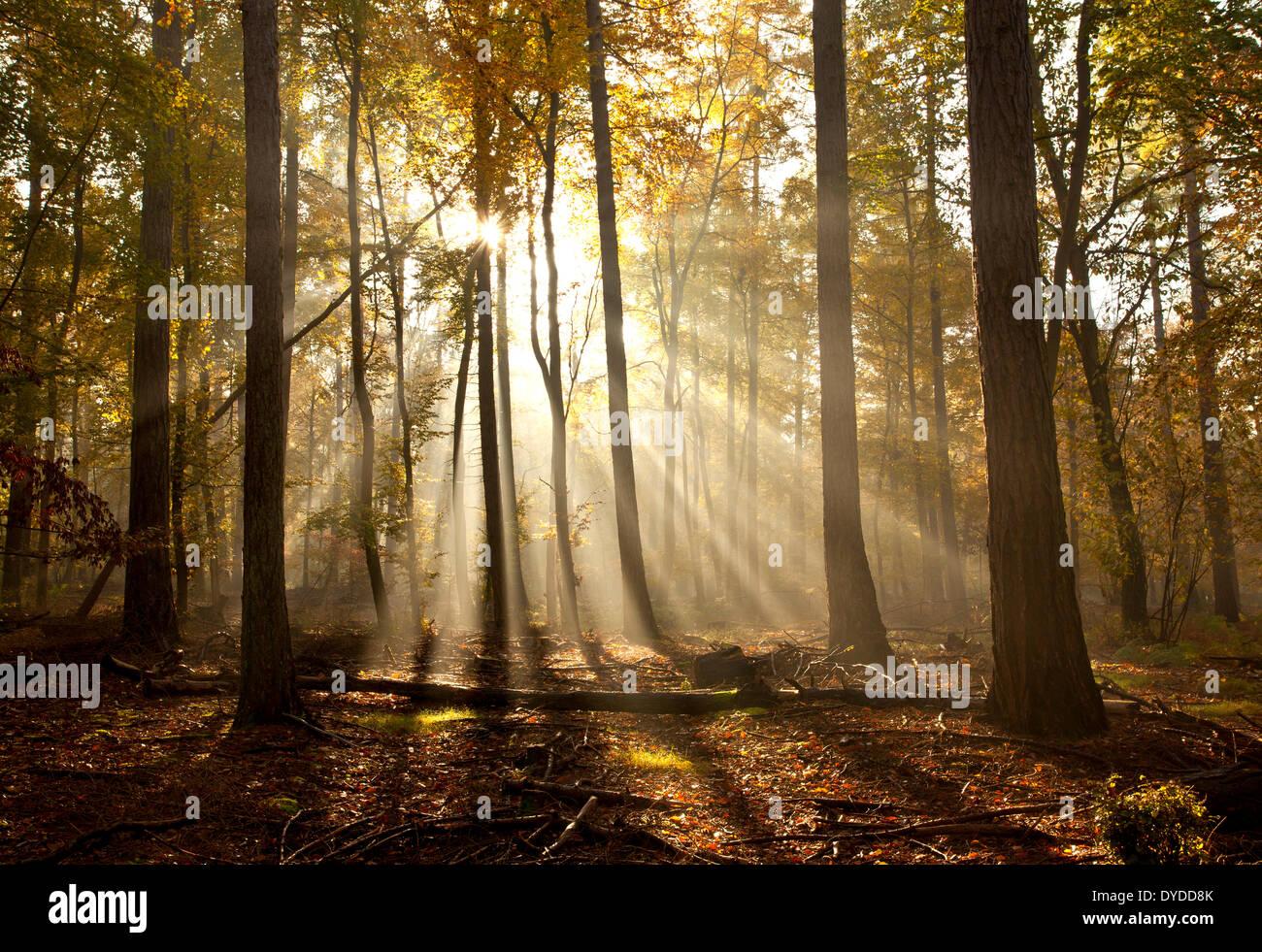 Lever du soleil à Rishbeth Woods dans la forêt de Thetford. Photo Stock