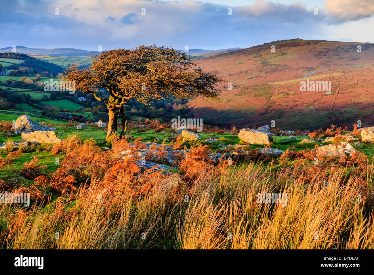 Lumière du soir à Combestone Tor sur Dartmoor. Banque D'Images