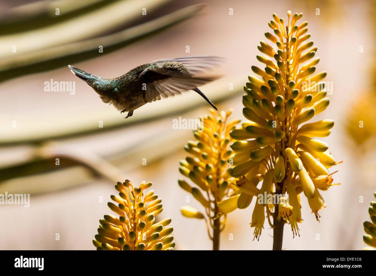Humming Bird, Desert Botanical Gardens, Phoenix, Arizona, USA Photo Stock