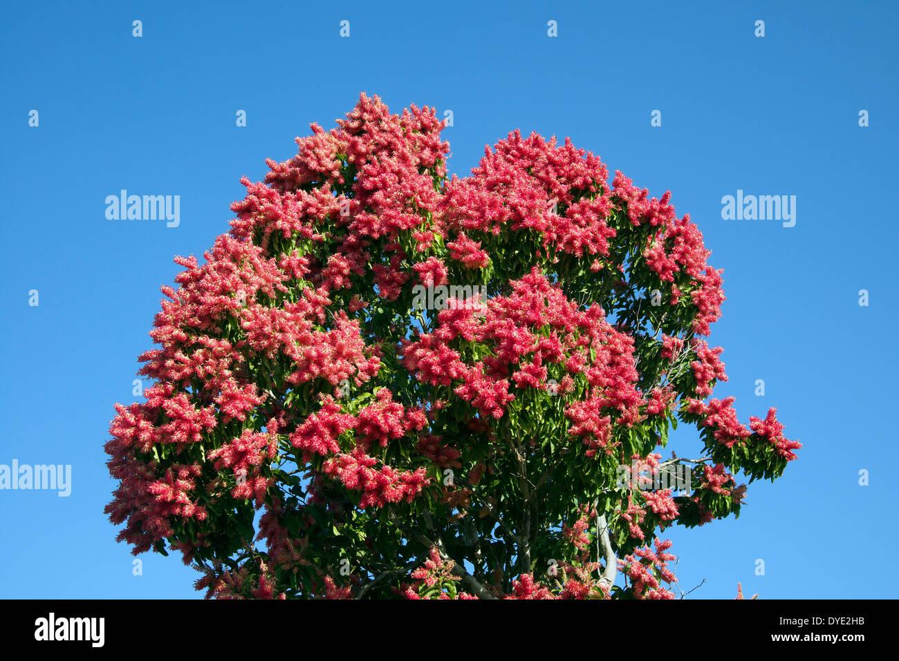 arbre fleur rouge la province de sancti spiritus cuba banque d