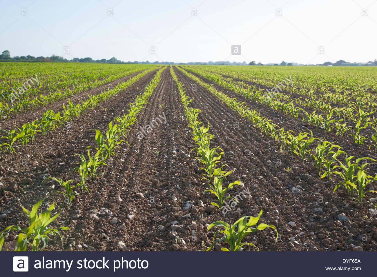 Les plantes qui poussent dans le champ Photo Stock