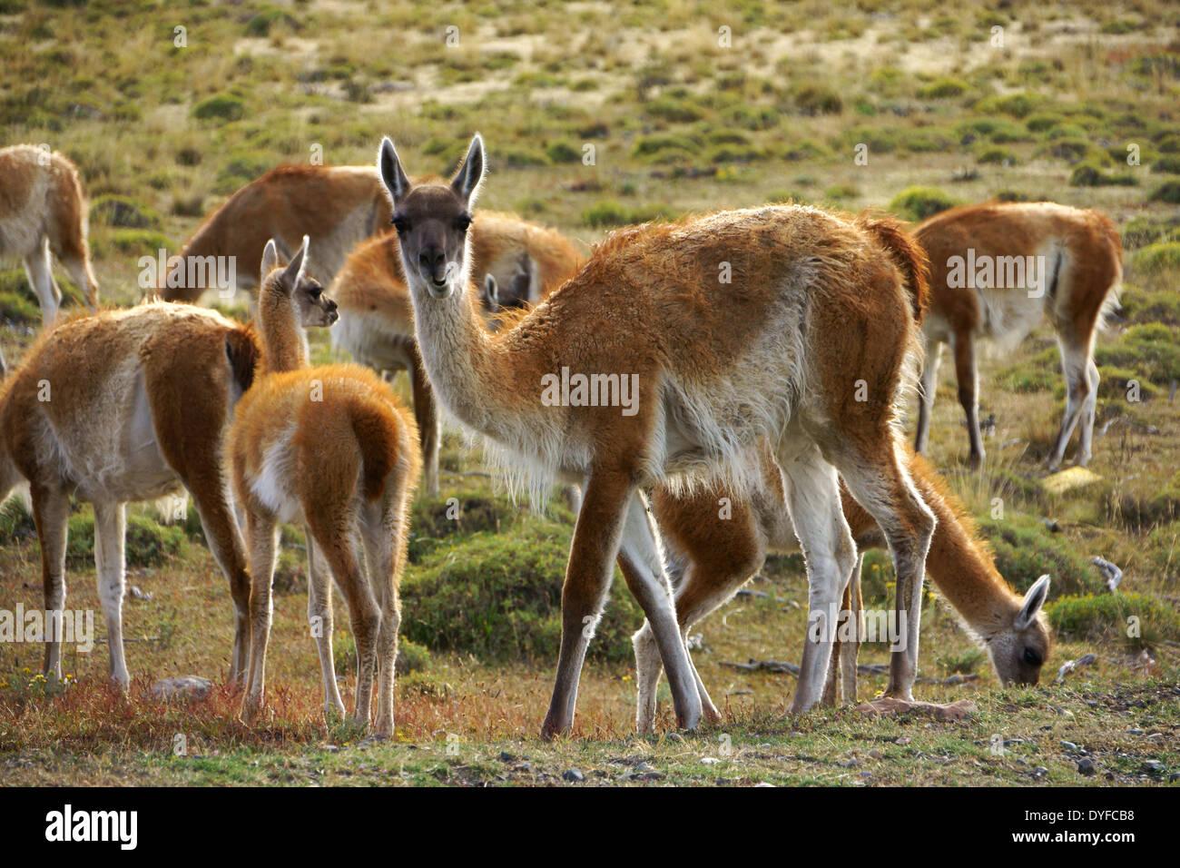Guanakos (Lama guanicoe) pâturage dans NP Torres del Paine. Patagonie, Chili Banque D'Images