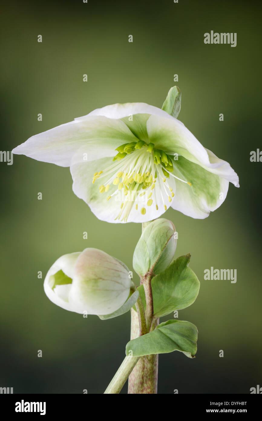 L'hellébore blanc en fleur Photo Stock