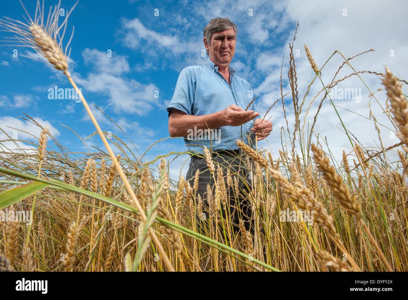Agriculteur de champ de blé Snow Hill MD Photo Stock