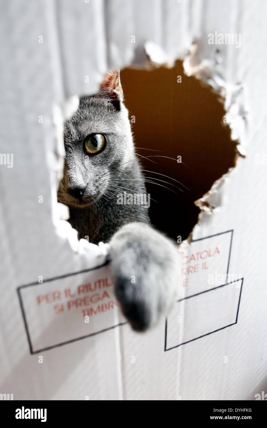 Un chat gris à l'intérieur d'une boîte de papier avec un gros trou Photo Stock
