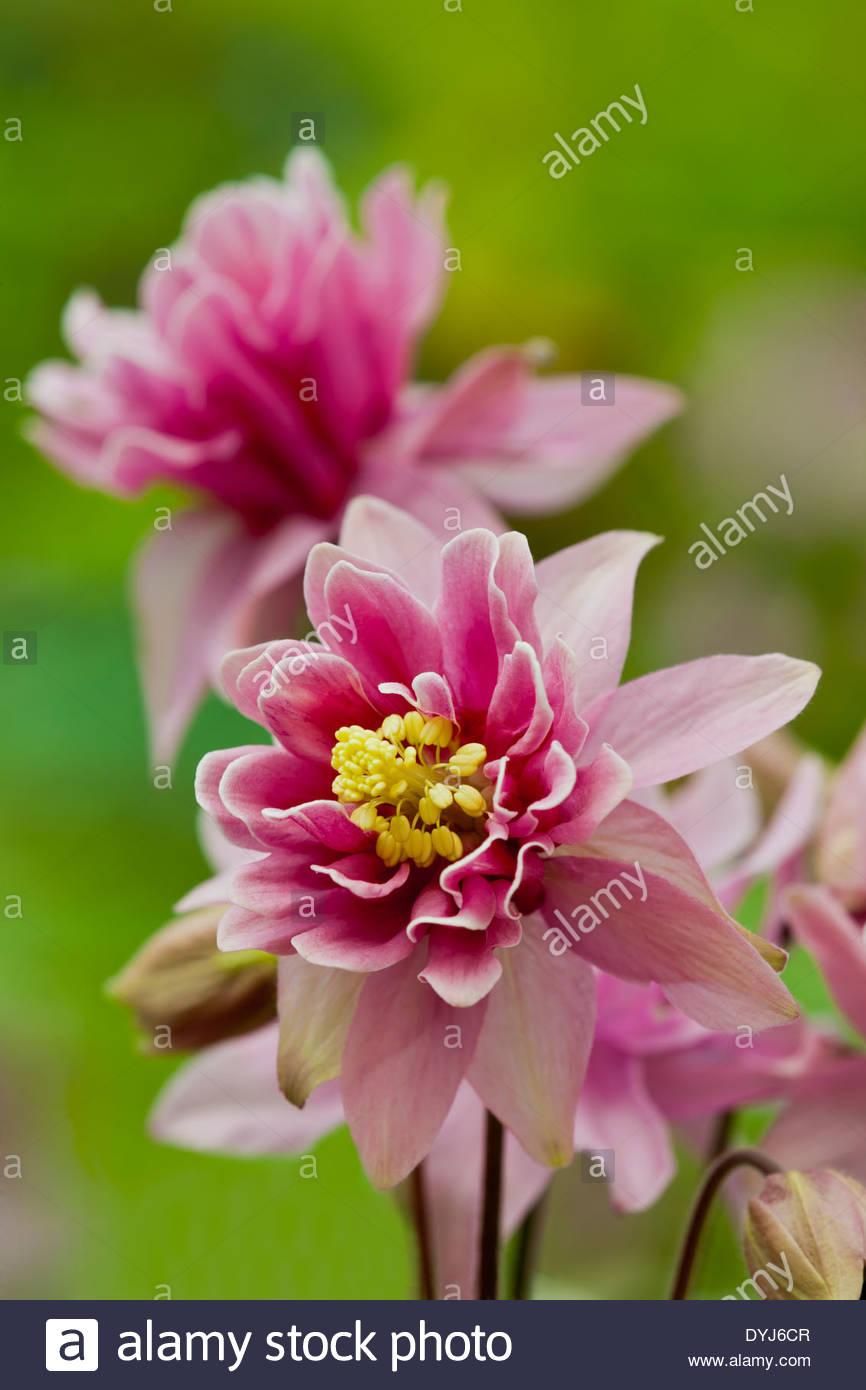 Aquilegia Vulgaris Ancolie Europeenne Rose Clementine Granny S