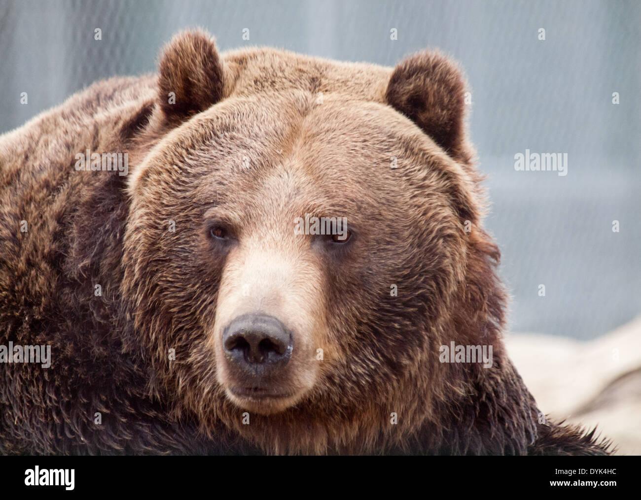 Un portrait d'un adulte Grizzli (Ursus arctos horribilis) en captivité à la Saskatoon Forestry Farm Park et Zoo. Banque D'Images