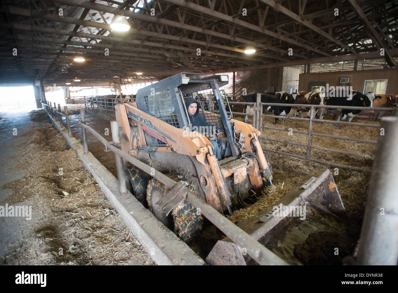La conduite d'un travailleur agricole chargeur skid dans une étable à bovins laitiers Ridgely, Maryland Photo Stock