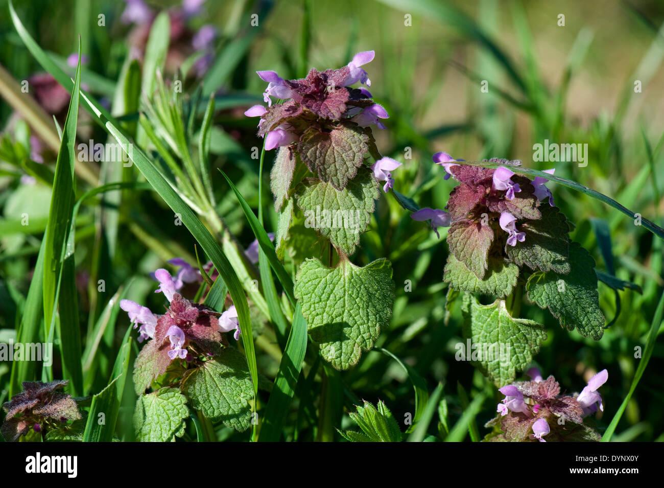 La floraison red dead-nettle Lamium purpureum, fleurs, Banque D'Images