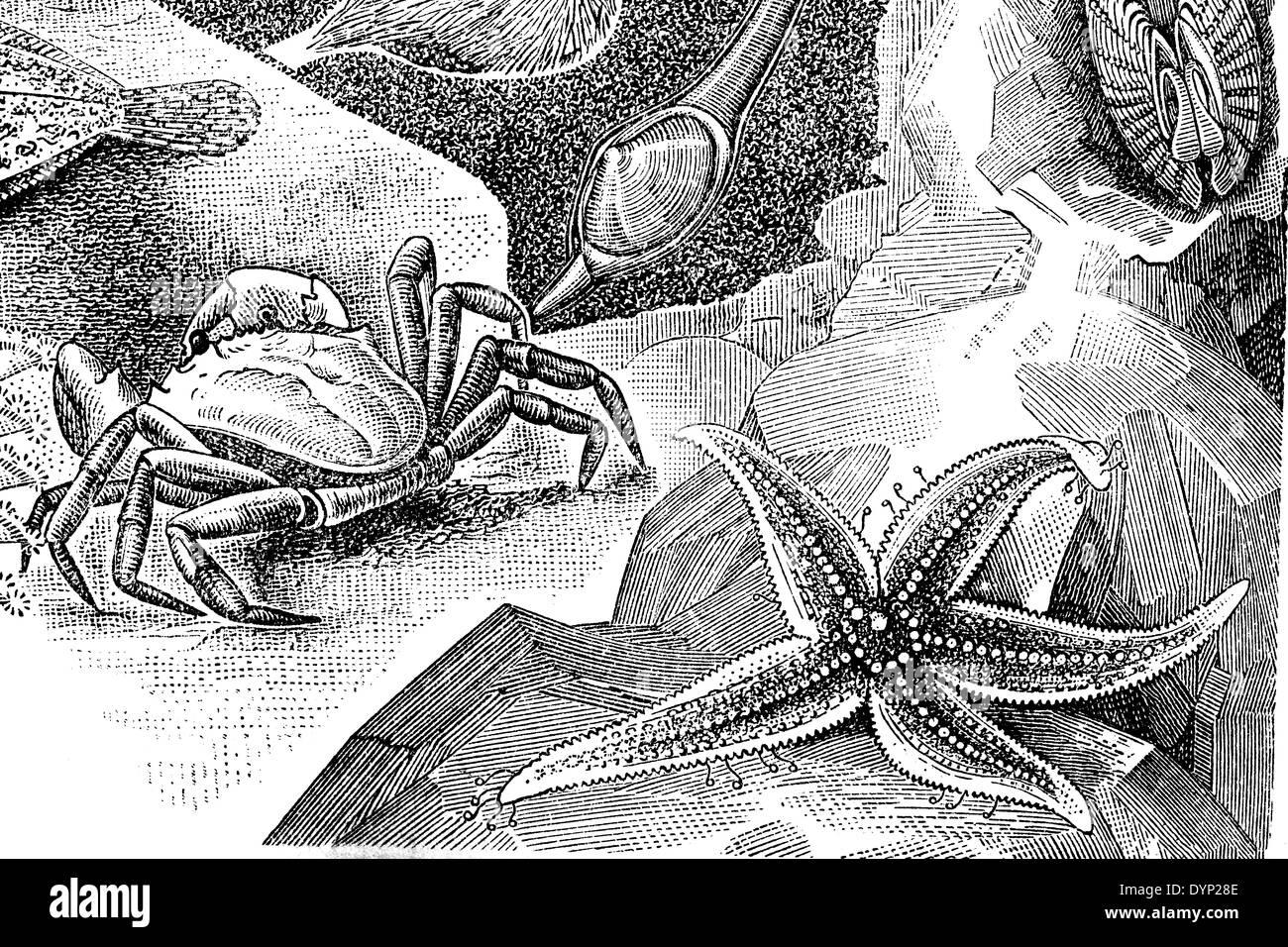 Littoral (crabe Carcinus maenas), étoile de mer (Asterias rubens), illustration de l'Encyclopédie Soviétique, 1927 Banque D'Images
