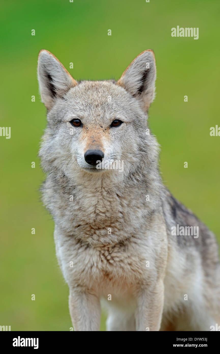 Le chacal doré, le Chacal commun ou l'Asiatique Jackal (Canis aureus) Banque D'Images