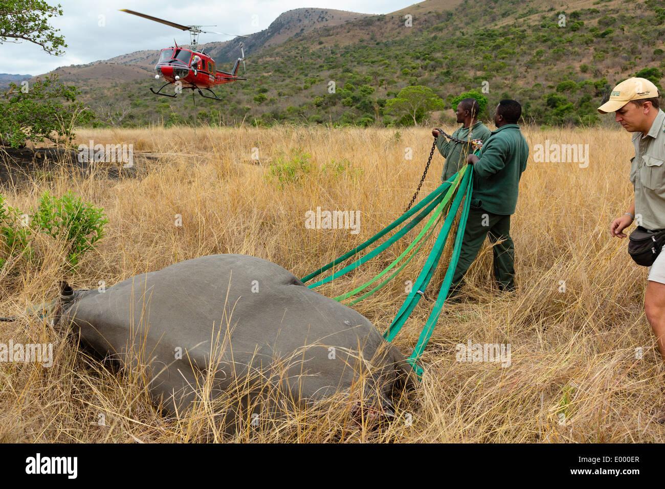 Le Rhinocéros noir (Diceros bicornis) en préparation pour le transport aérien par hélicoptère.Ithala game reserve.Afrique Banque D'Images