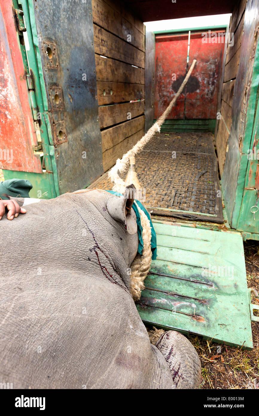 Le Rhinocéros noir (Diceros bicornis) chargées dans une cage pour la translocation.Ithala game reserve.Afrique du Sud Banque D'Images