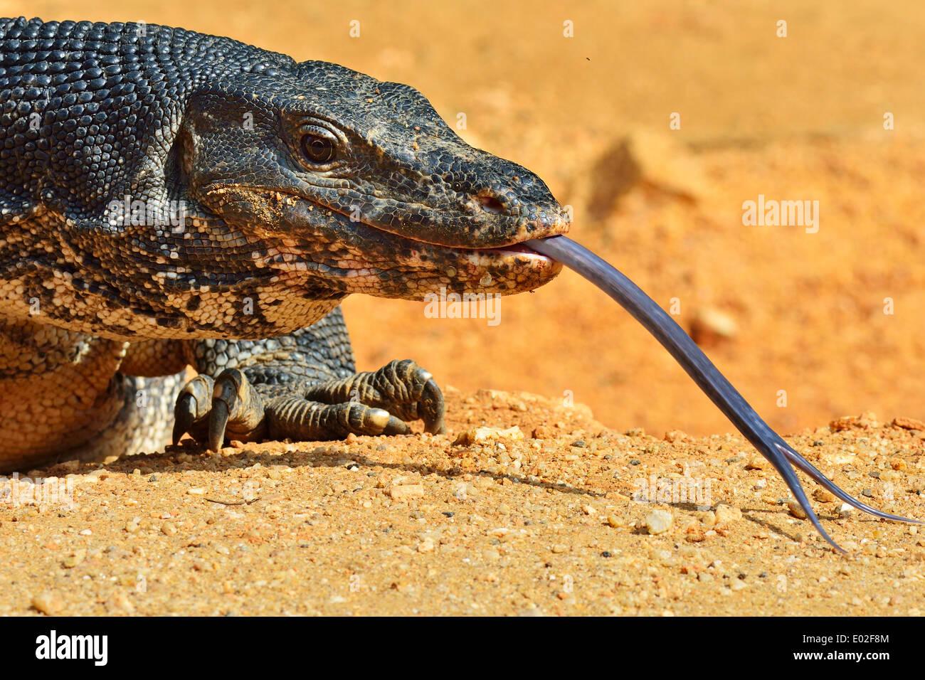 Moniteur de l'eau (Varanus salvator salvator), Polonnaruwa, Sri Lanka, Photo Stock