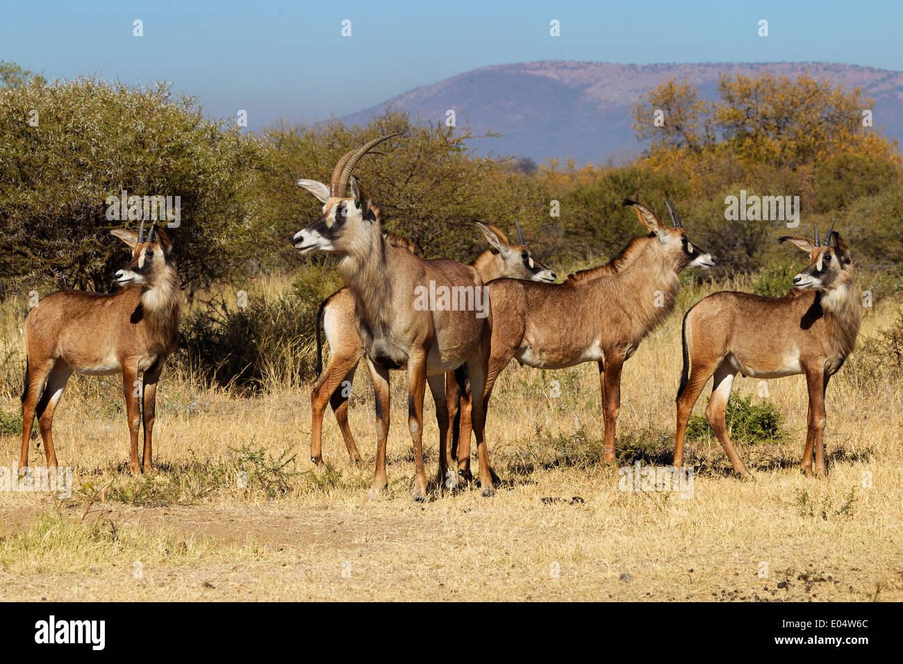 L'antilope rouanne (Hippotragus equinus).Groupe de femelles et de juvéniles.Afrique du Sud Banque D'Images