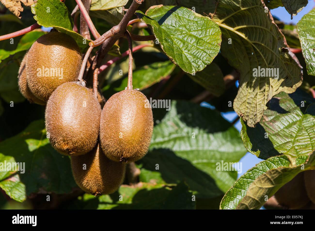 kiwi kiwi sur un arbre en automne. la maturité des fruits exotiques