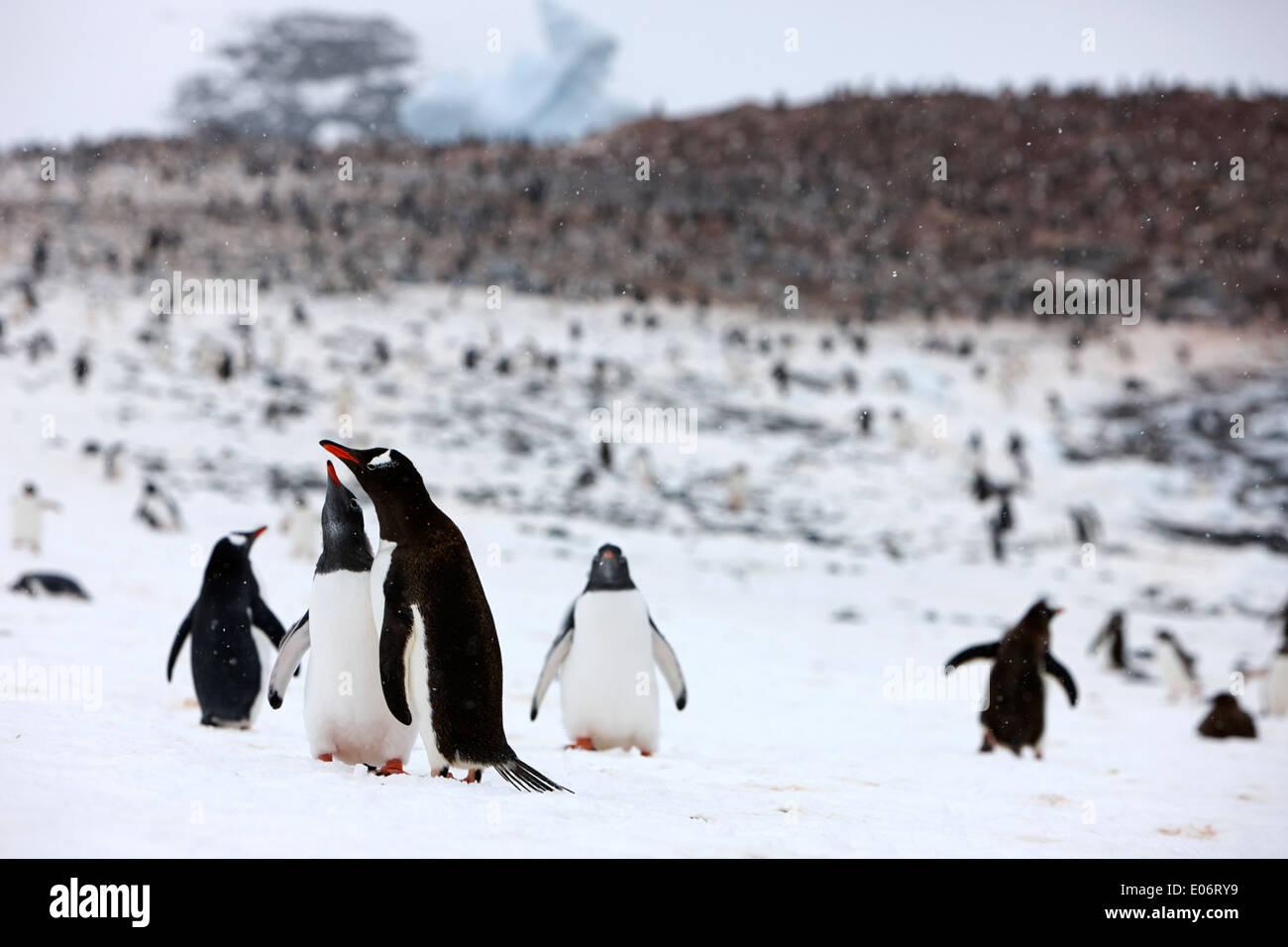 Paire de pingouins dans l'entraide afficher sur le bord de Gentoo pingouin colonie sur l'île cuverville antarctique Photo Stock