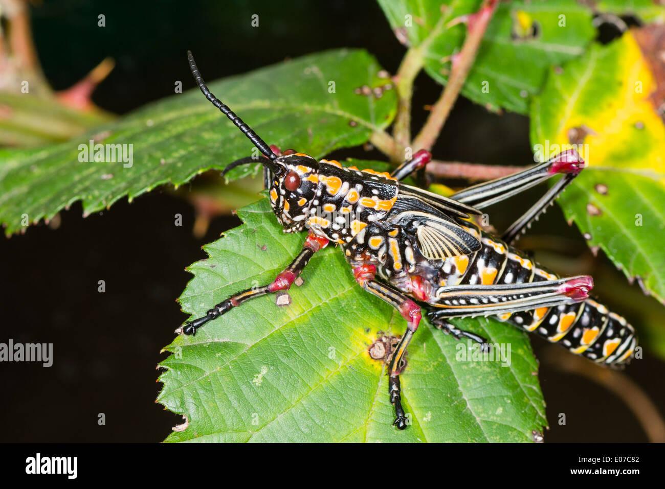 Un adulte Phymateus aegrotus grasshopper Photo Stock