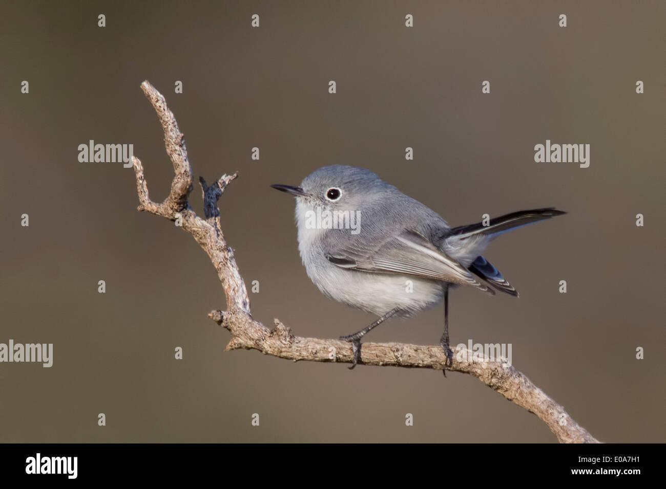 Gobemoucheron gris-bleu Polioptila caerulea,, comté de Marin, en Californie, USA Photo Stock