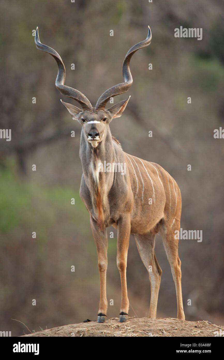 Bull - koudou Tragelaphus strepsiceros, Mana Pools National Park, Zimbabwe Banque D'Images