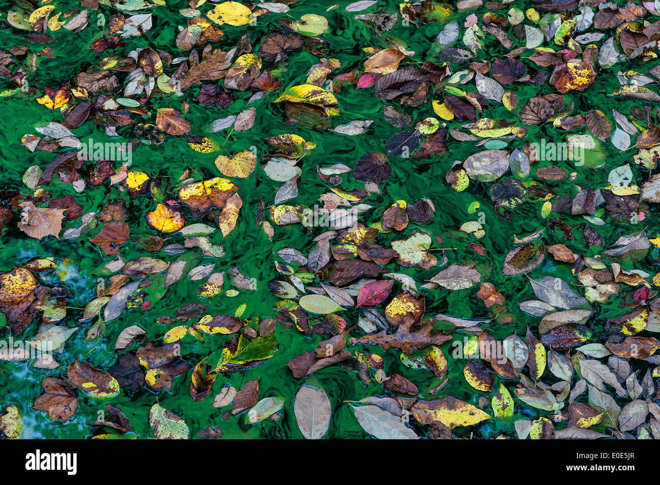 Les feuilles d'automne dans un étang d'algues vertes. Photo Stock