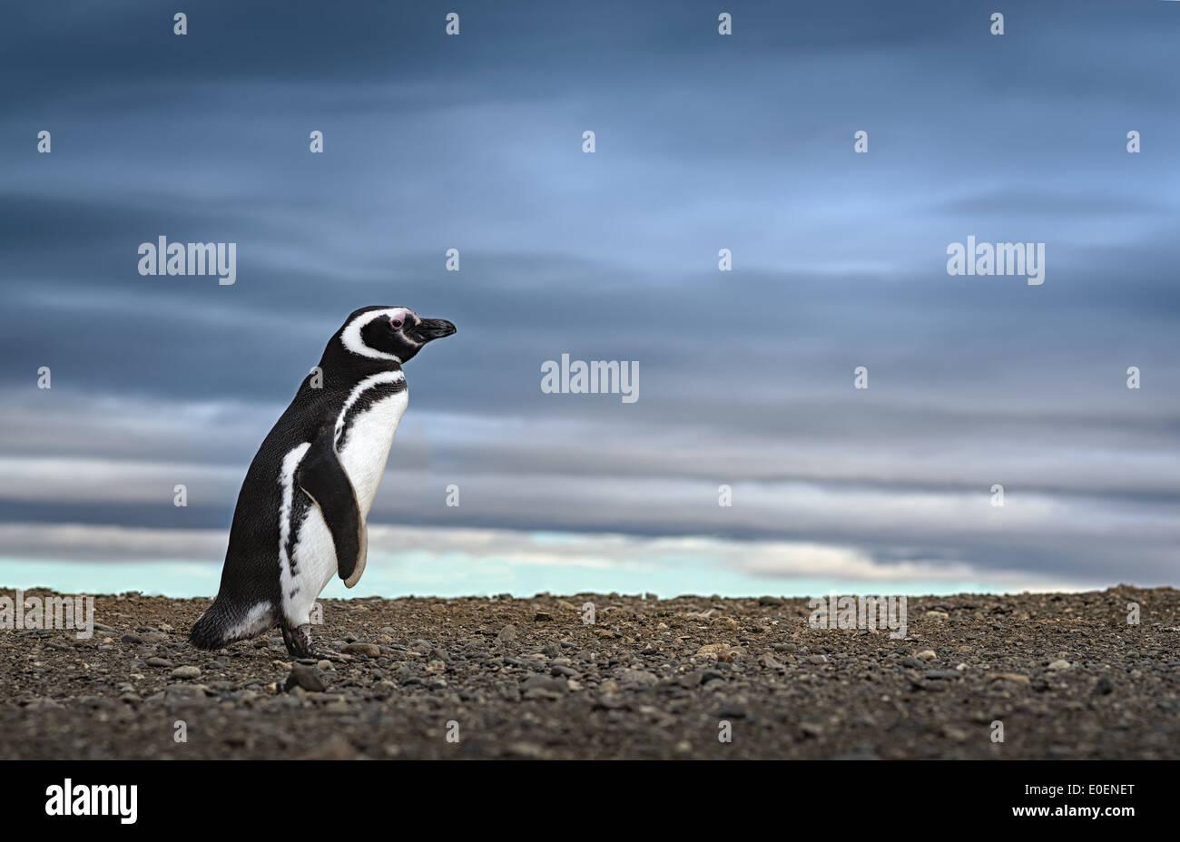 Adorable penguin en Patagonie. Image Voyage d'inspiration. Image en haute définition. Photo Stock