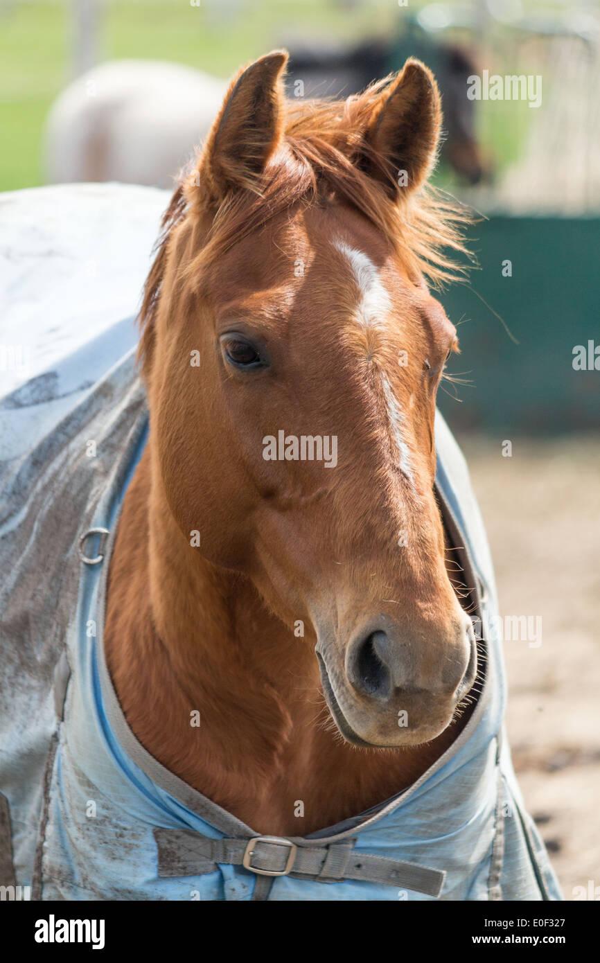 Cheval marron portant des tapis d\'hiver à la couverture de l ...