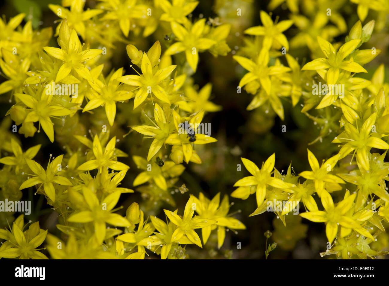 Goldmoss stonecrop, Sedum acre Photo Stock