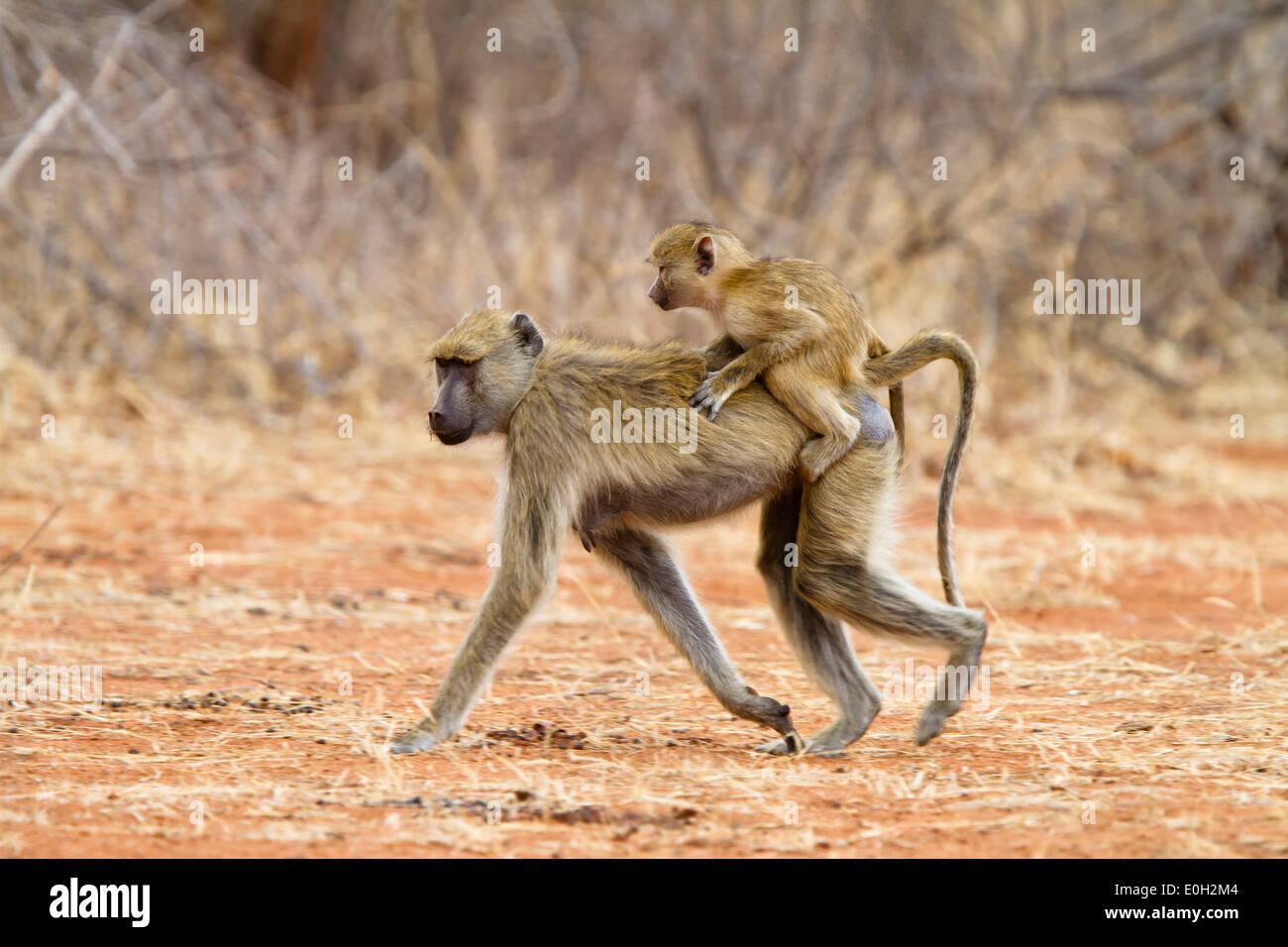Babouin jaune avec bébé, Papio cynocephalus, lac Tanganjika, le Ruaha National Park, la Tanzanie, l'Afrique de l'Est, l'Afrique Photo Stock