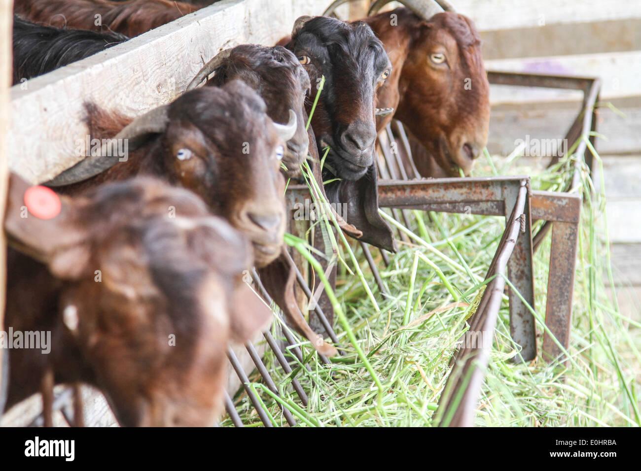 Les chèvres mangent du foin dans une ferme laitière pen Photo Stock