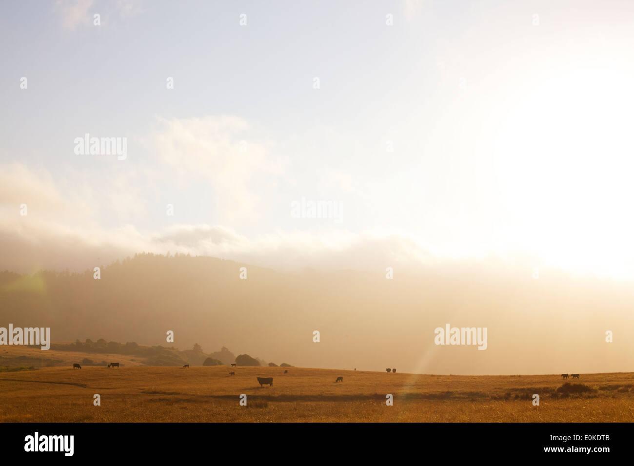 Le brouillard en rouleaux dans la distance d'un paysage de vaches qui paissent, silhouetté contre un coucher de soleil. Photo Stock