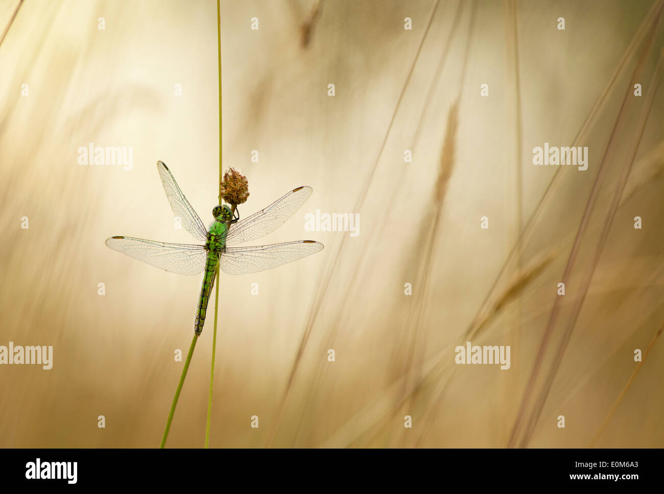 Un Green Darner dragonfly attend la fin de l'avertissement rayons du soleil du matin, de l'Oregon, USA (Anax junius) Photo Stock