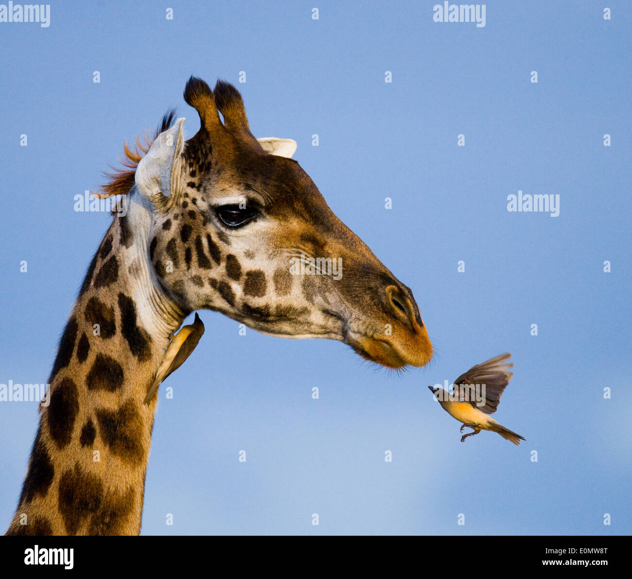 La girafe et l'oxpecker, Parc National de Masai Mara, Kenya (Giraffa camelopardalis), (Buphagus sp.) Photo Stock