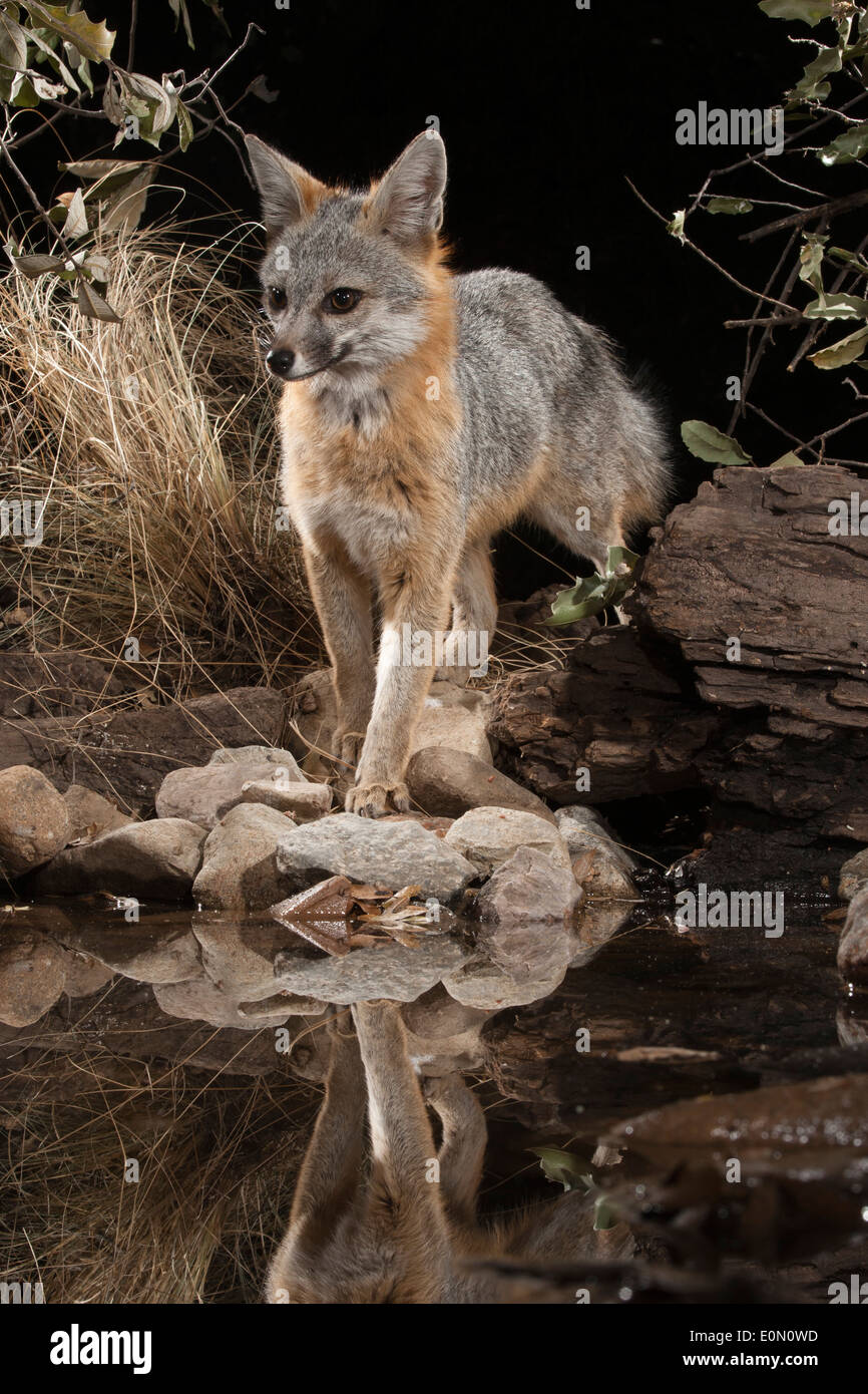 Gray Fox à un point d'eau la nuit, le sud de l'Arizona, United States (Urocyon cinereoargenteus) Banque D'Images